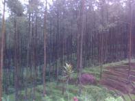hutan-pinus_3.jpg
